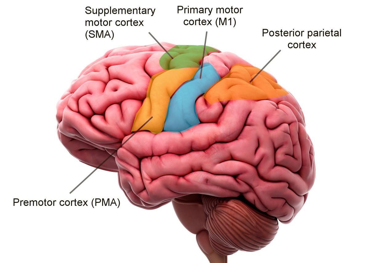Labeled Parts Of The Brain   Motor cortex, Human brain diagram