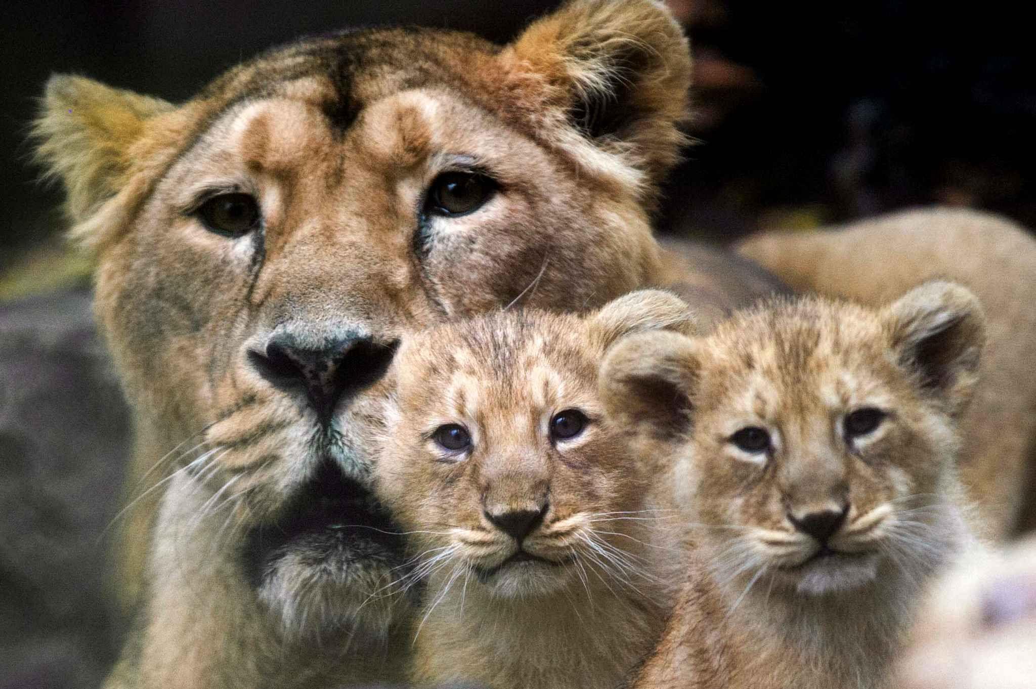 Deux lionceaux du zoo de Mulhouse sont très intrigués par la présence de l'appareil photo.