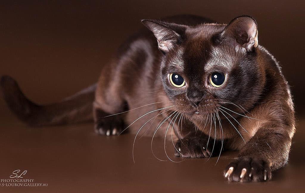 бурманская кошка (с изображениями)   Милые котики, Кошки и ...