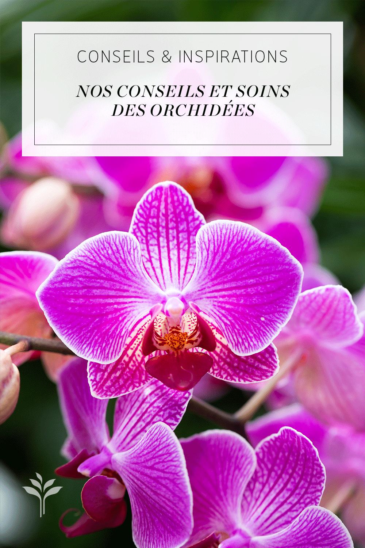 Comment S Occuper D Un Orchidée orchidée rose. conseils de soins pour les phalaenopsis. il