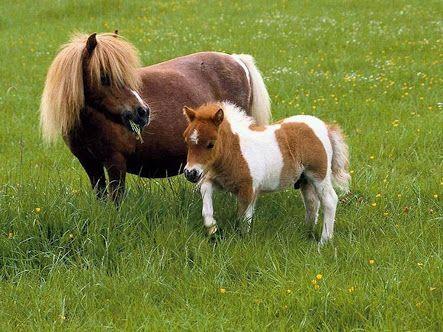 mini cavalo - Pesquisa Google
