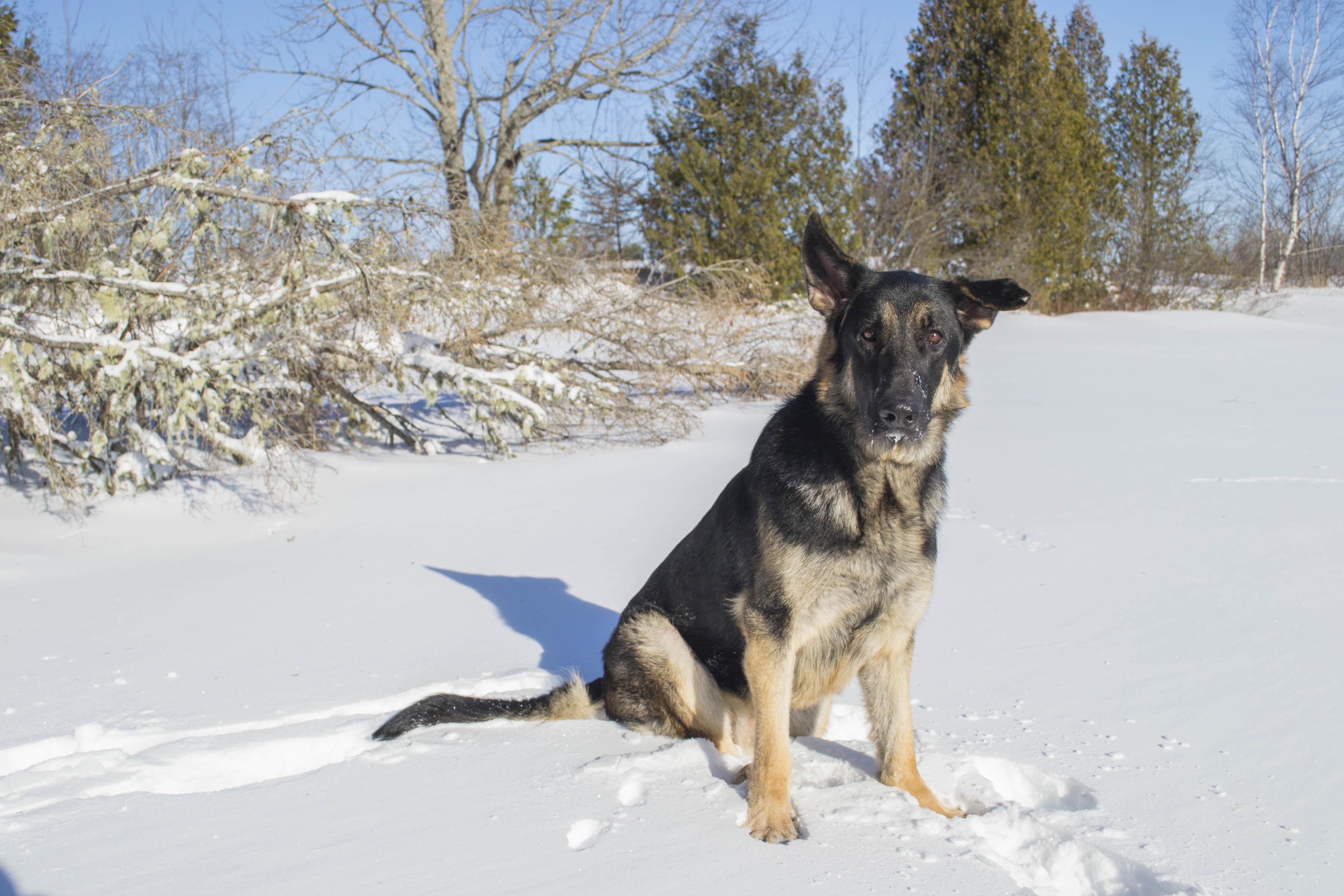 Greetings from canada german shepherd photography pinterest greetings from canada m4hsunfo