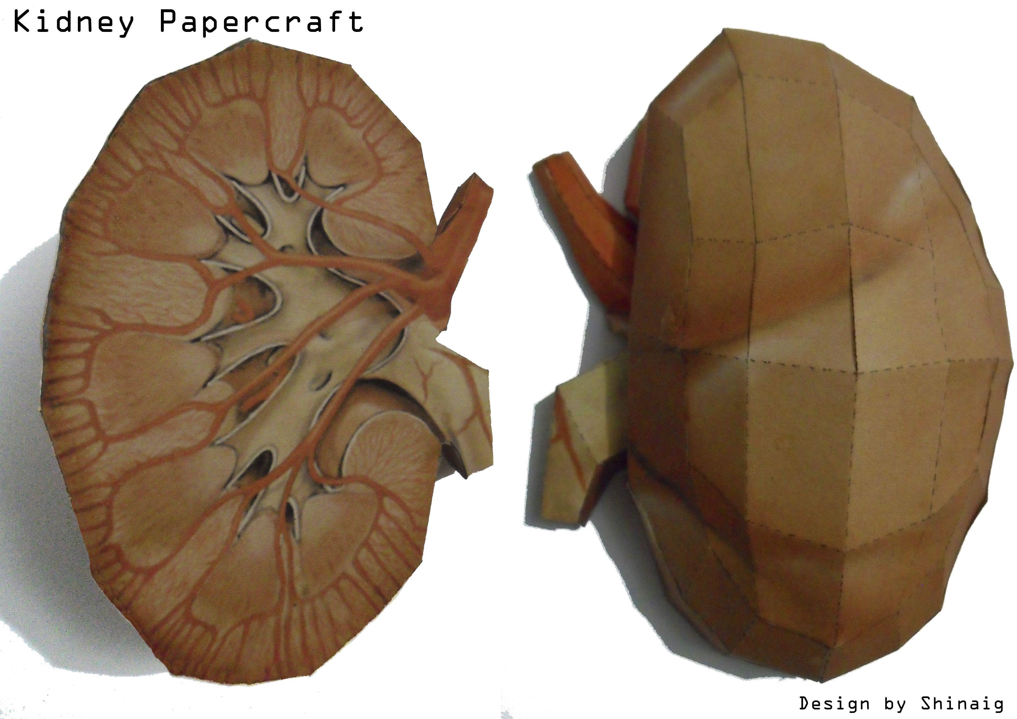 Kidney Papercraft By Shinaig D56k4gy