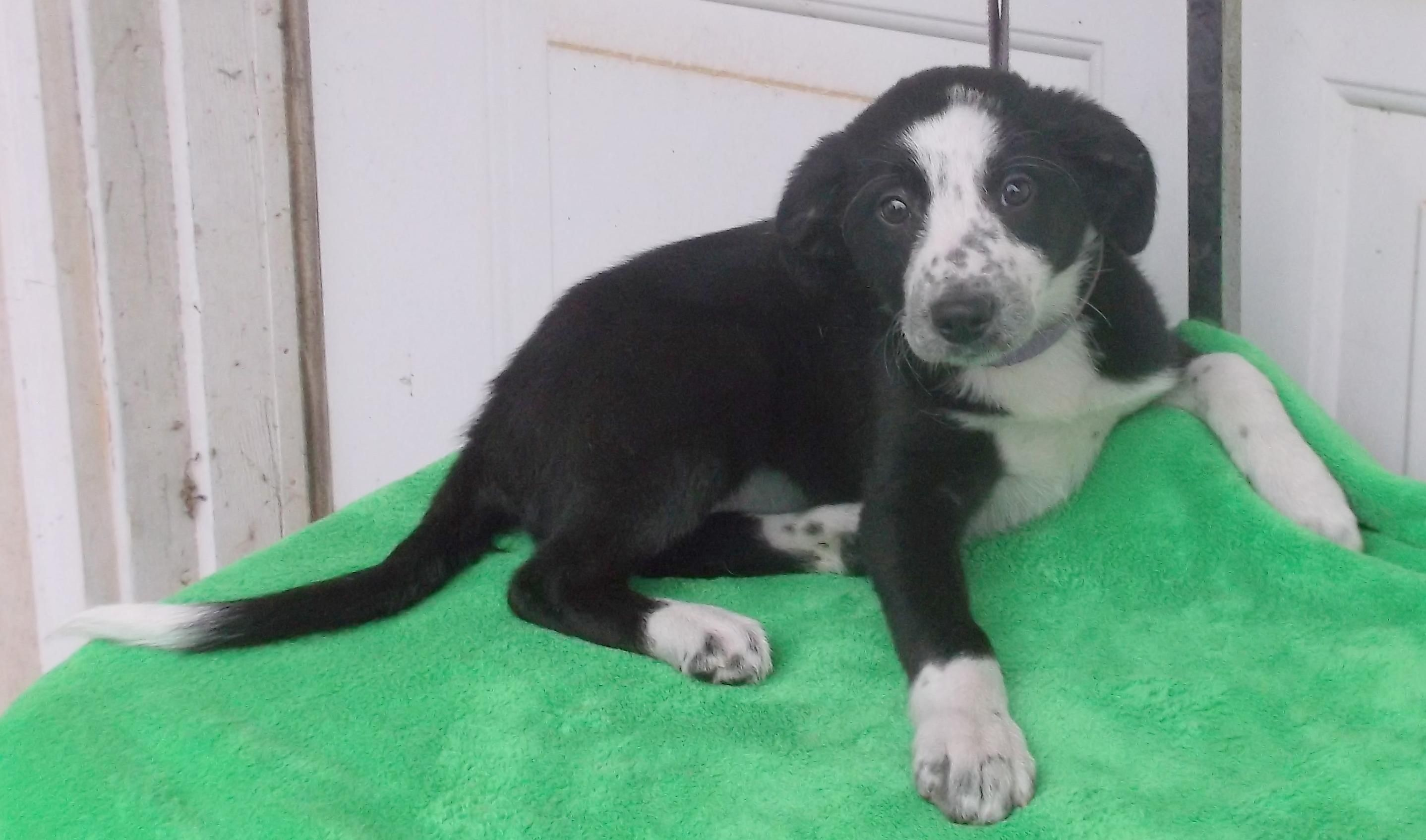 Adopt Candy on Collie dog, Dogs, Collie