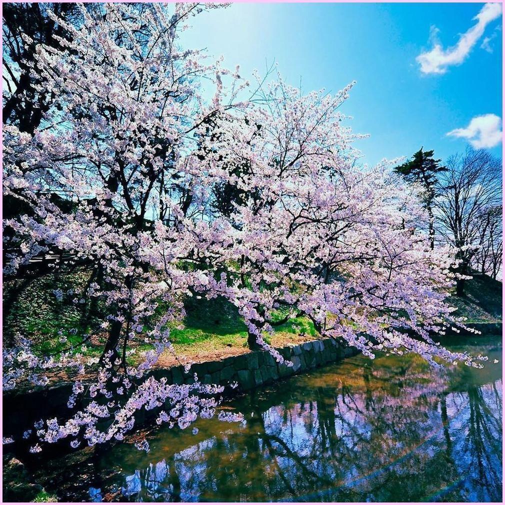 Sakura Cherry Blossoms Manzara Doga Dunya