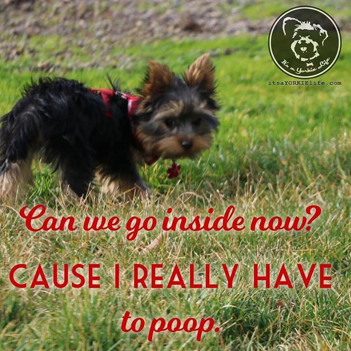 Ah Yorkies. What are you going to do? ((Shakes Head))