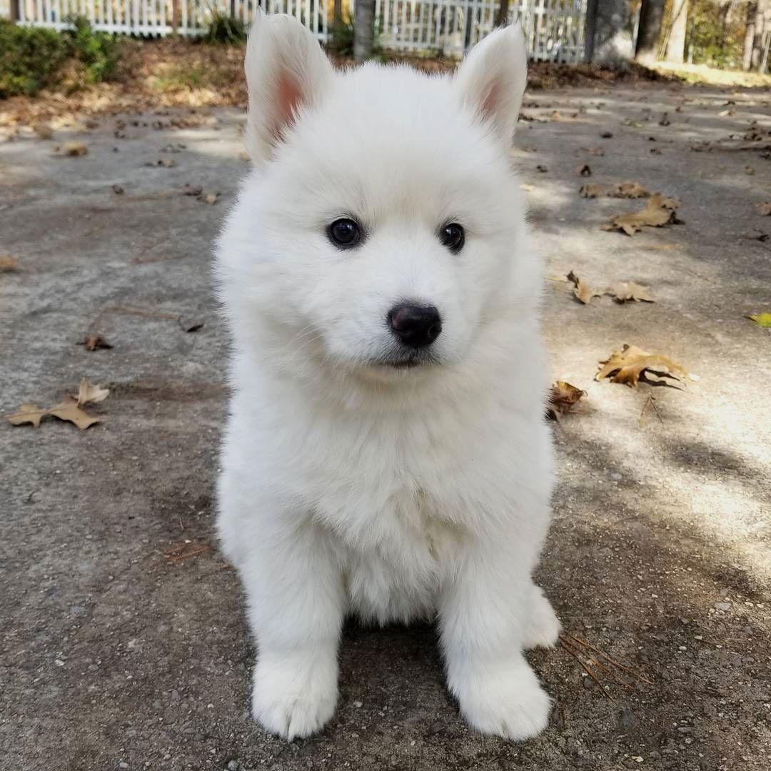 """""""Fluffy white puppy! """" . credit: @huskyranch . CB Dogs ..."""