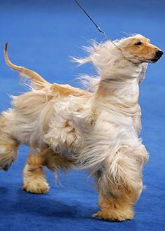 Akc Eukanuba National Championship Dog Show Unusual Dog Breeds