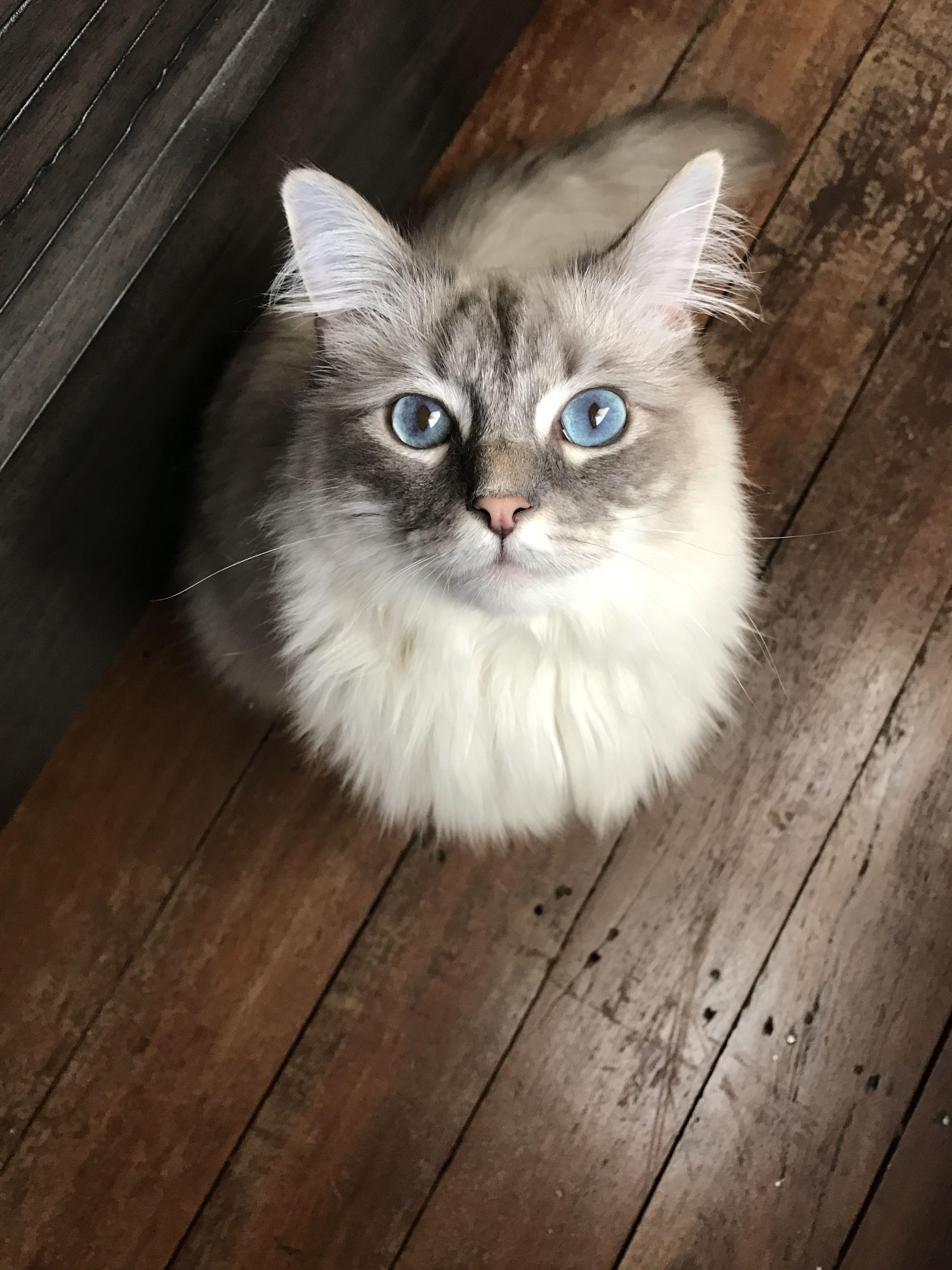 Ragdoll Cat - Diego