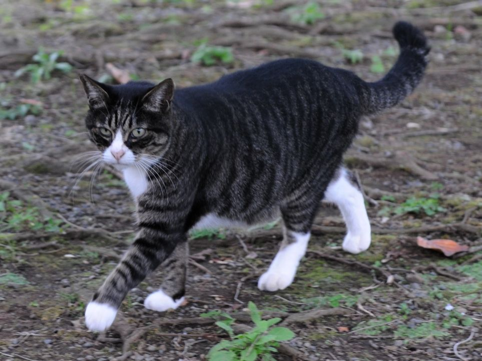 Gray Toms Cat With Black Stripes
