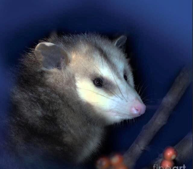 Opossums are healthy for our ecosystems  Opossums are