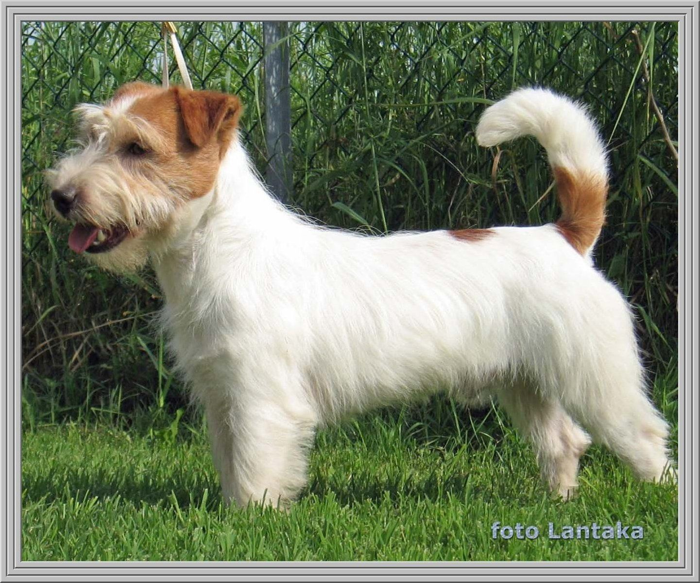 Jack russell terrier con manto ruvido animal dogs for Jack russel pelo lungo