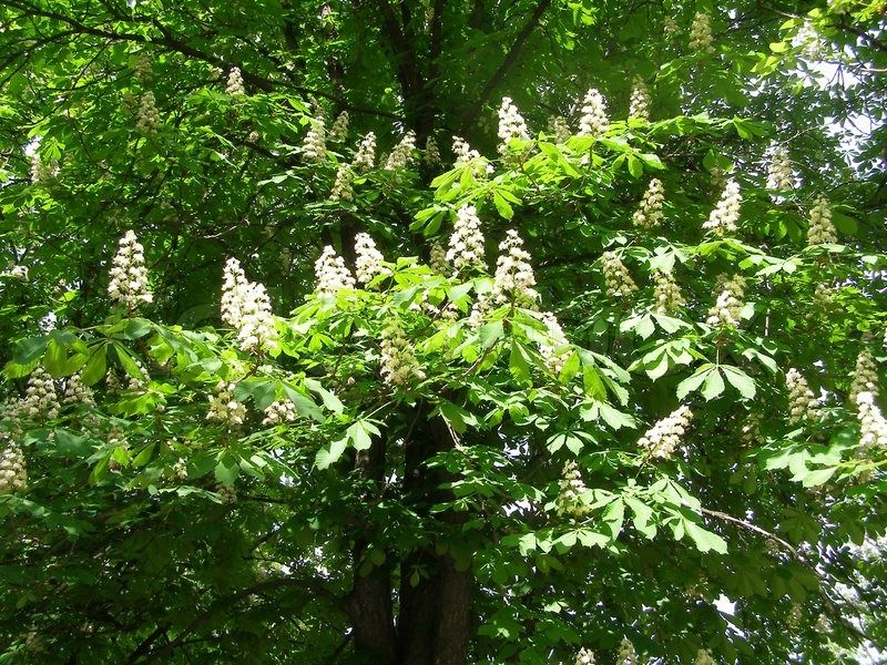 White flowering chestnut tree may ultimately be big and need to white flowering chestnut tree may ultimately be big and need to remove center of 3 trees maybe mightylinksfo