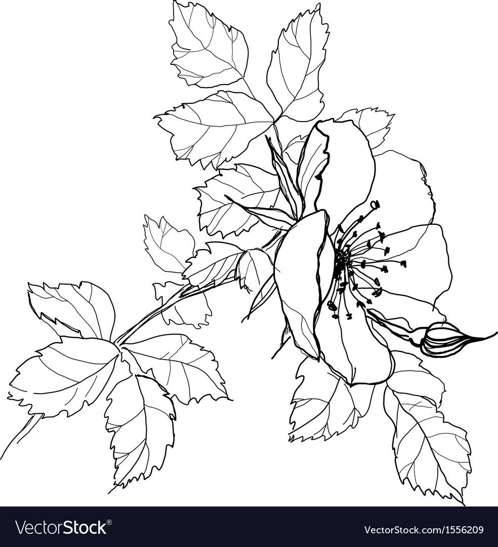 Rose flower pencil drawing vector image on VectorStock in