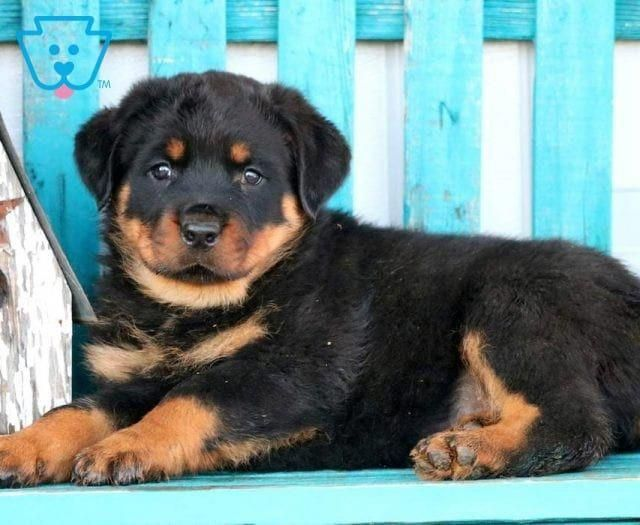 Boss Rottweiler Puppy For Sale Keystone Puppies Puppiesfunny