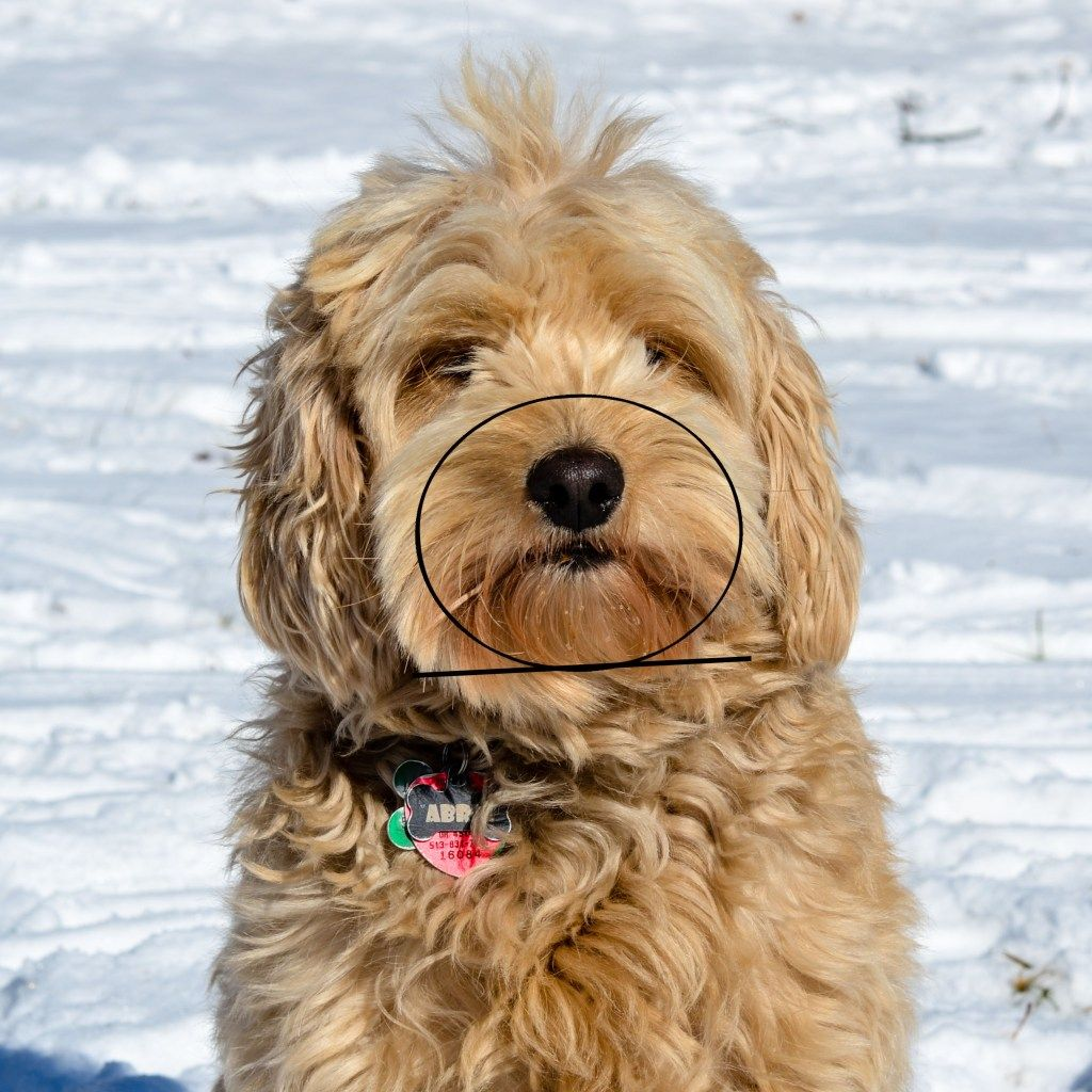 how to train a goldendoodle not to jump