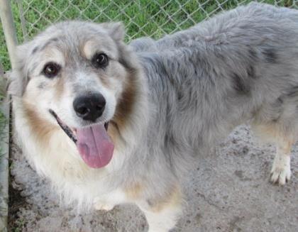 Adopt Leo On Shepherd Mix Dog Dogs Australian Shepherd