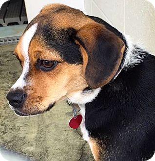 Farmington Mi Pug Beagle Mix Meet Skyy A Puppy For Adoption Http Www Adoptapet Com Pet 17775735 Farmington Michigan Pug Pets Pug Beagle Pug Beagle Mix