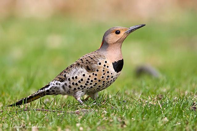 Female Flicker Woodpecker