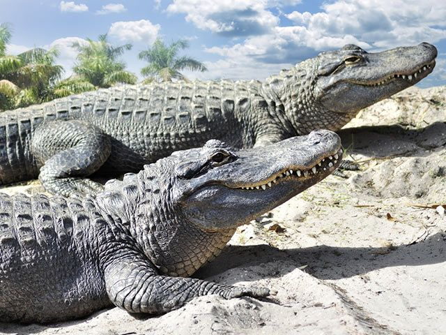 Unterschiede zwischen Krokodil und Alligator