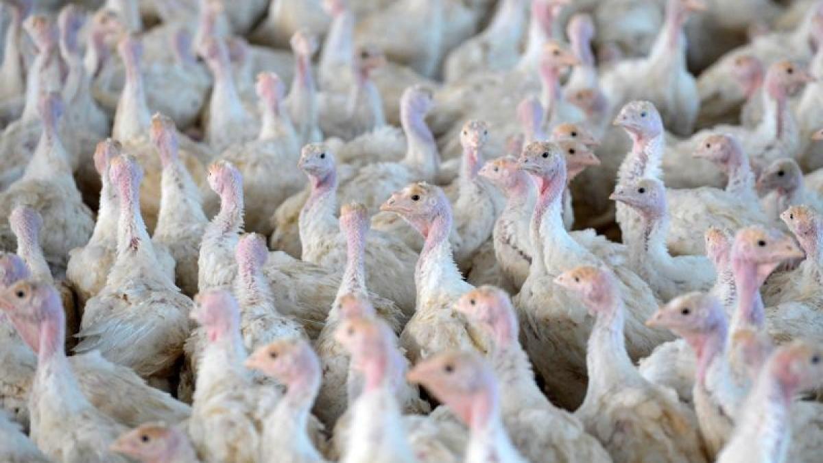 #Vogelgrippe: Nach Vogelgrippe-Fall 45 000 Puten getötet - DIE WELT: DIE WELT Vogelgrippe: Nach Vogelgrippe-Fall 45 000 Puten getötet DIE…