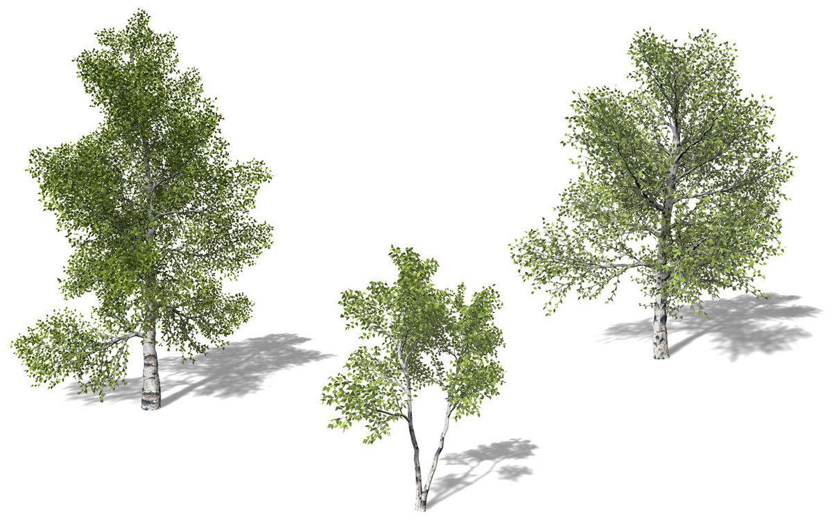 3d Model Xfrogplants Paper Birch Tree Recursos Photoshop Arbol En Planta Arboles Png