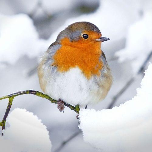 les oiseaux du jardin les accueillir les reconna tre et les prot ger oiseaux jardins et. Black Bedroom Furniture Sets. Home Design Ideas
