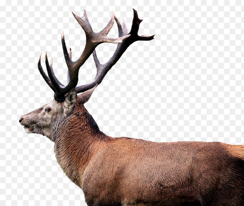 Red Deer Png 51 Deer Png Images With Transparent Background Free 850 720 Png Download Free Transparent B Backgrounds Free Transparent Background Red Deer