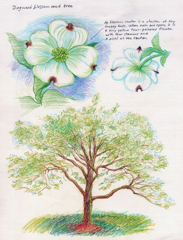 Waldorf ~ 5th grade ~ Botany ~ Dogwood ~ main lesson book