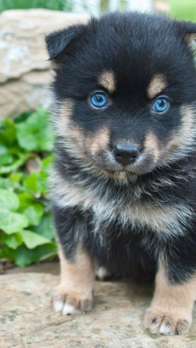 This Designer Dog Breed Will Melt Your Heart Pomsky Dog Small