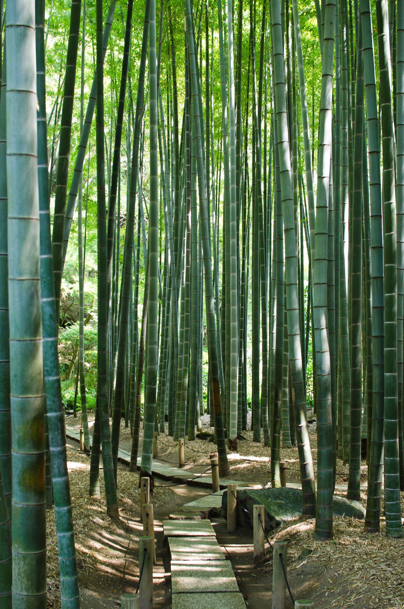 Bamboo by Shinnji   Bamboo forest japan, Japanese garden