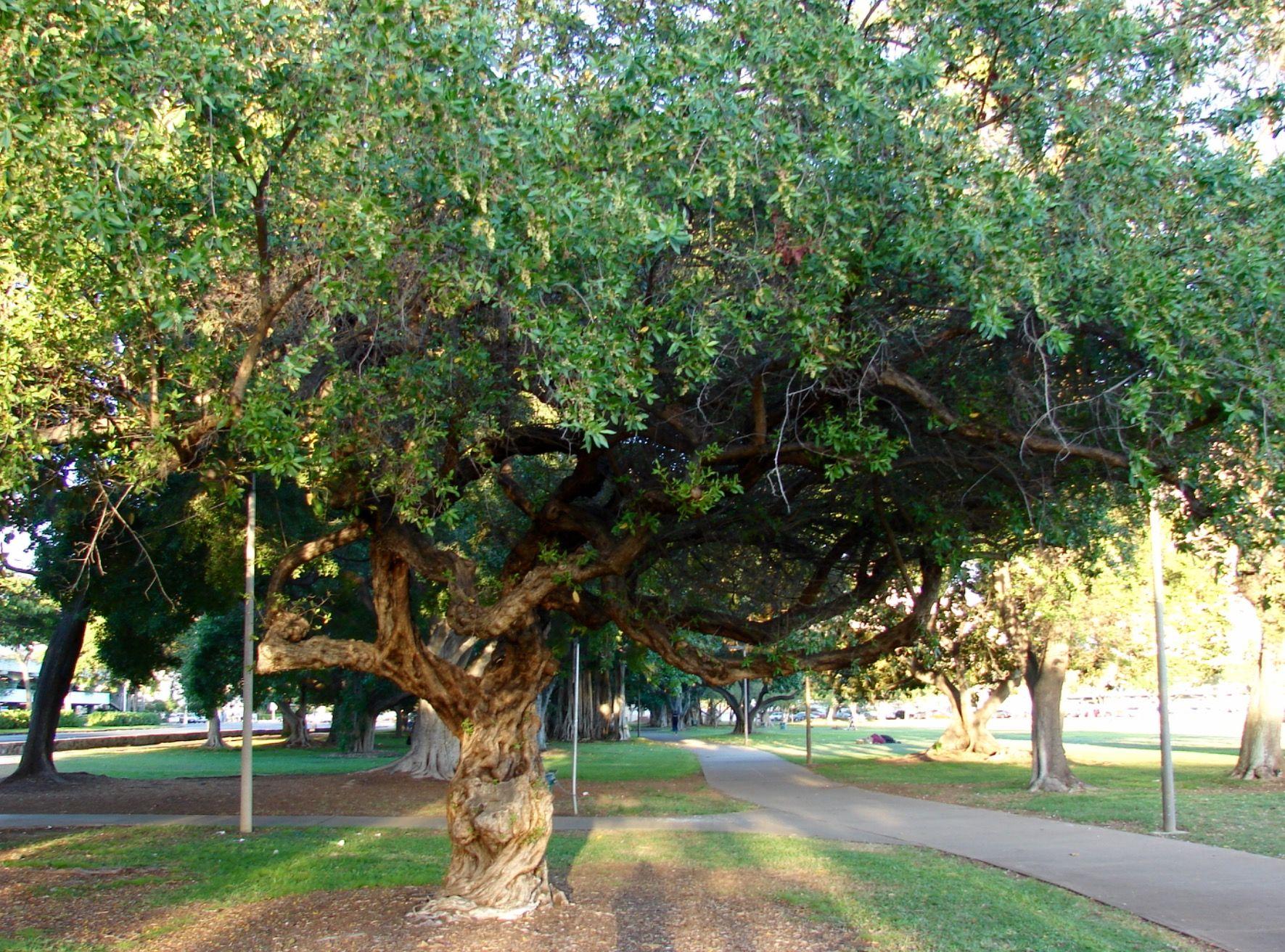 Conocarpus Erectus (Buttonwood) Canopy Tree, Many Uses For Its Wood