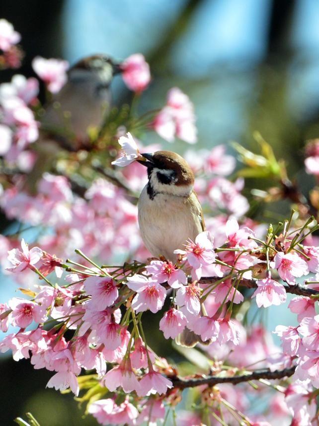 Cherry Blossom Season Begins In Tokyo Japan Cherry Blossom Festival Cherry Blossom Japan Cherry Blossom