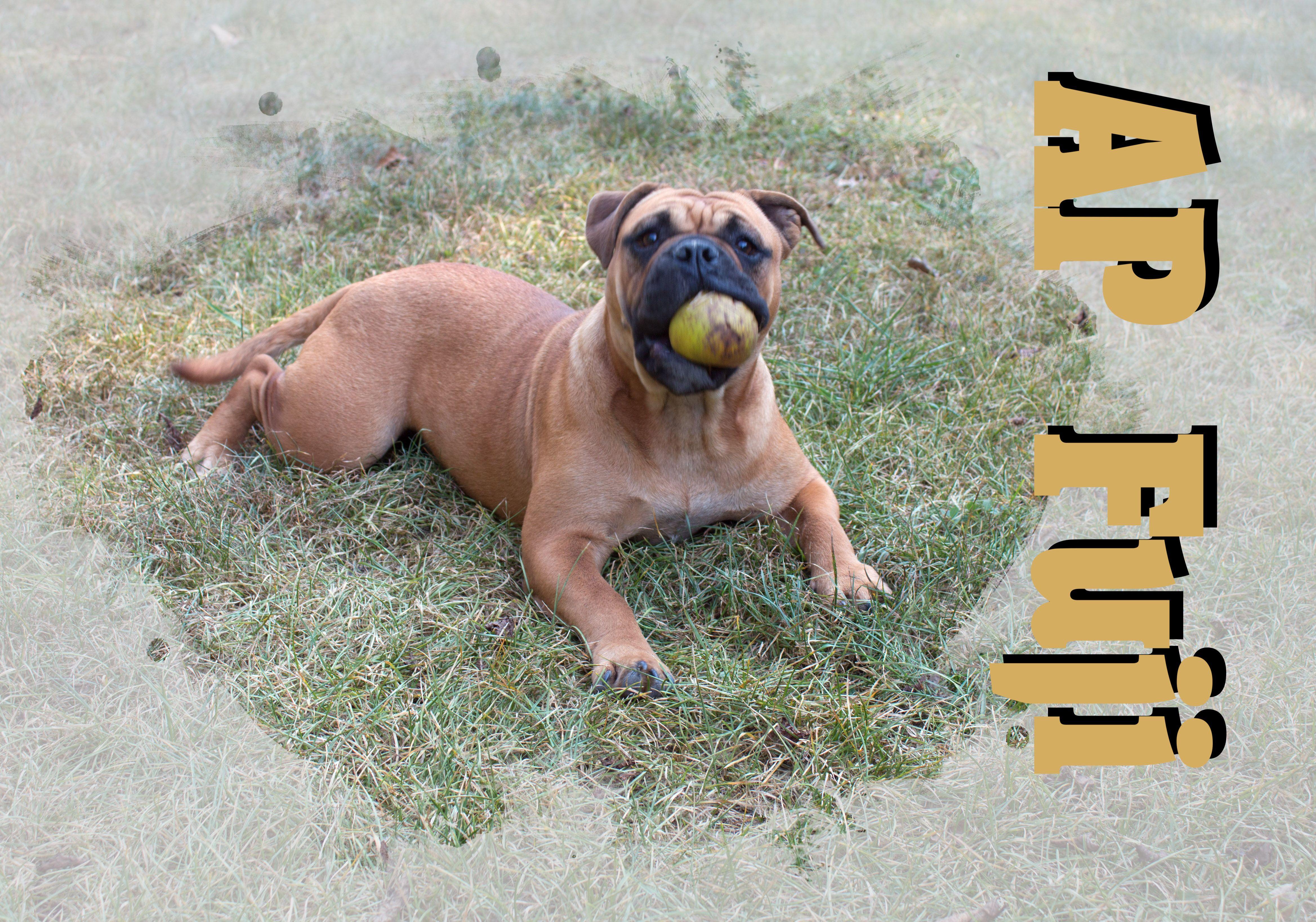 AP Fuji eating an Apple Continental bulldog, Bulldogge