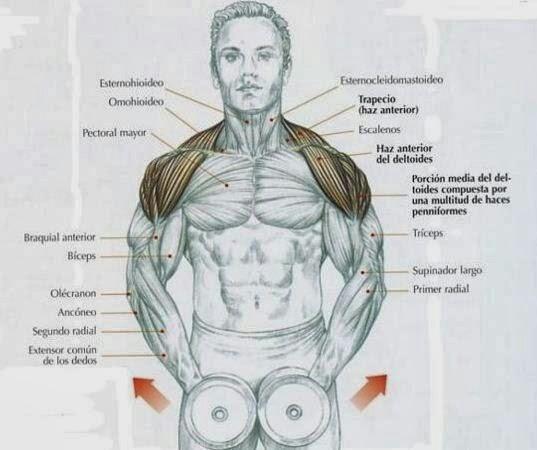 Músculos que mueven el humero. M. INFRAESPINOSO. -ORIGEN