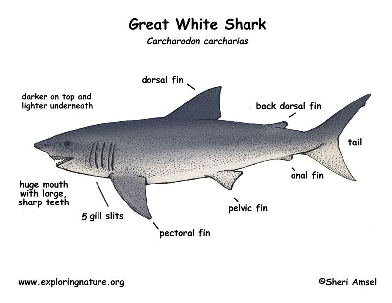 Learn About Great White Sharks On Exploringnature Org Great White Shark Teeth Great White Shark Teeth Diagram