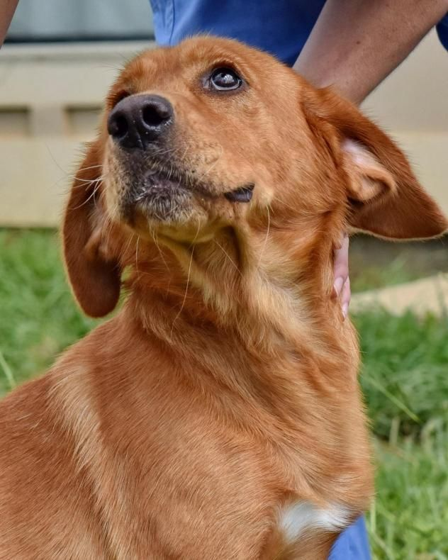 Adopt Bentley On Labrador Retriever Mix Golden Retriever Rescue