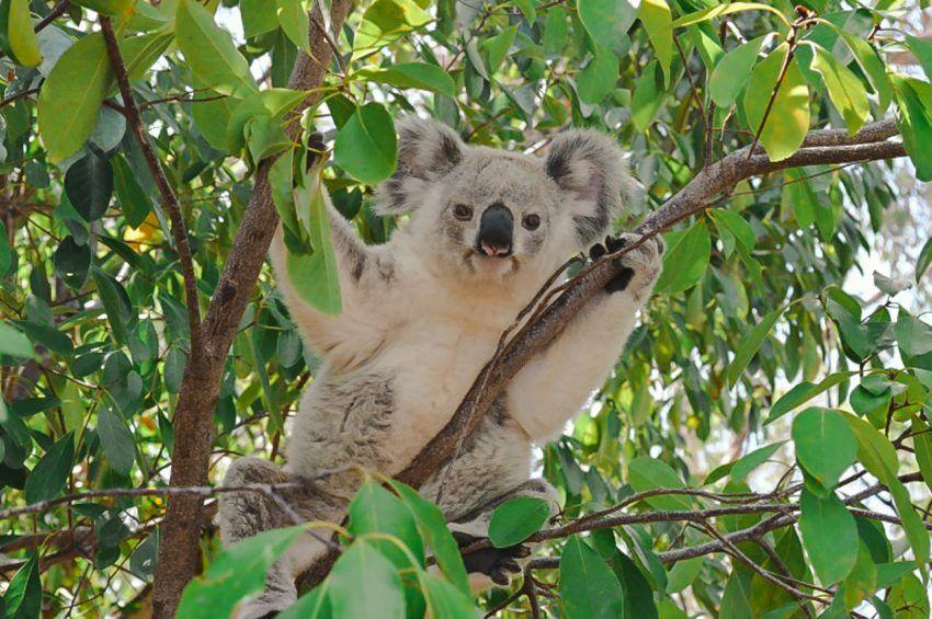 The Best Places To See Koalas On Magnetic Island Australia Koalas Koala Things To Do In Brisbane