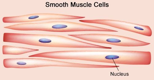 diagram of smooth muscle – citybeauty, Human body