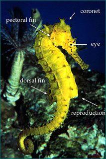 Seahorse Nova Online Kingdom Of The Seahorse Hot Science Beautiful Sea Creatures Seahorse Ocean Fishing