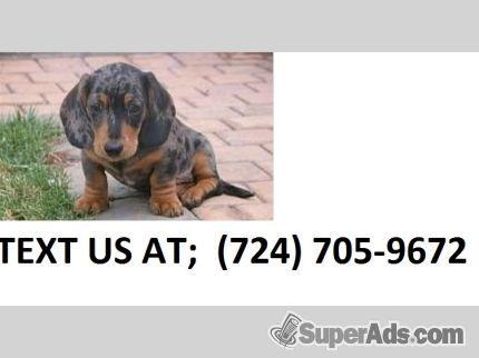 Jcs M F Miniature Dachshund Pups For Sale Text Us 724 X 705 X