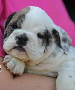 Bulldog Cute Animals Funny Animals Cute Dogs