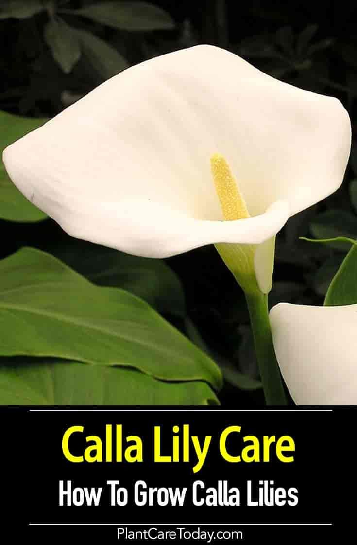 Growing Calla Lilies Tips On Calla Lily Plant Care How To Pct