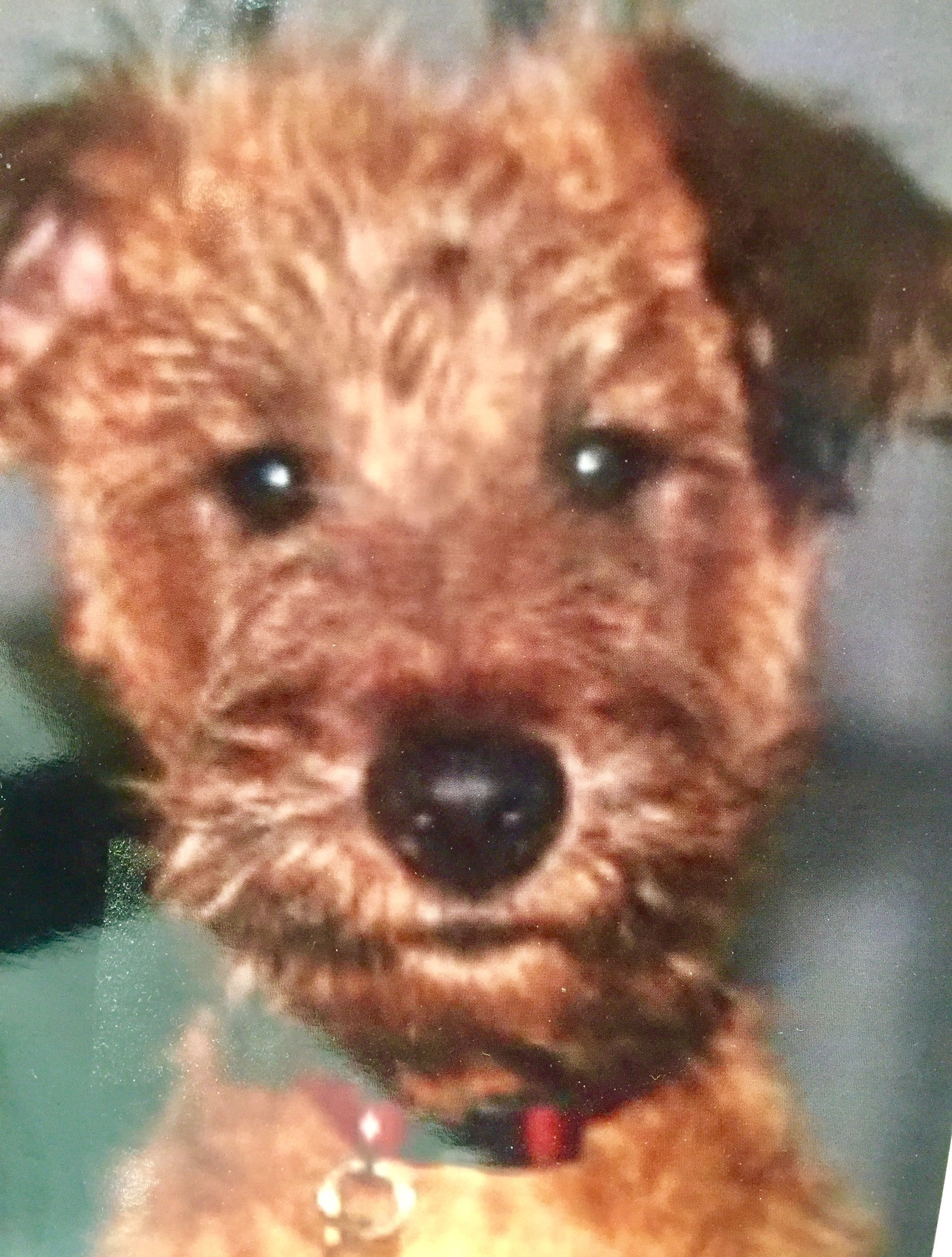 Pin by Sylvia Lackner on Irish terrier (With images