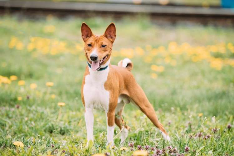 Non Barking Dogs 20 Breeds That Never Bark Dog Breeds Terrier