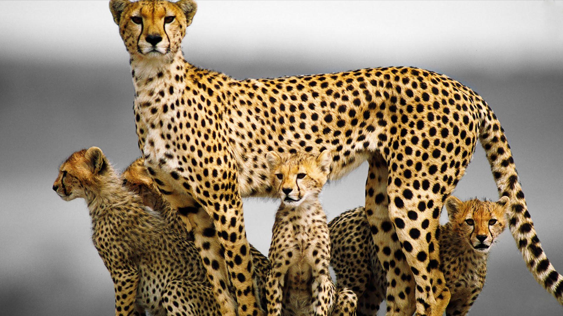 Cheetah And Kittens Desktop Pictures Free Download Cheetah Family Cheetah Wallpaper Animals