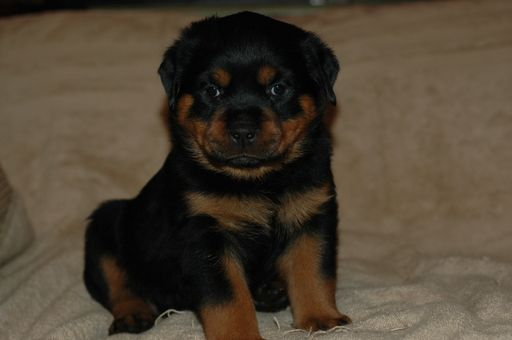 Litter Of 4 Rottweiler Puppies For Sale In Show Low Az Adn 48790