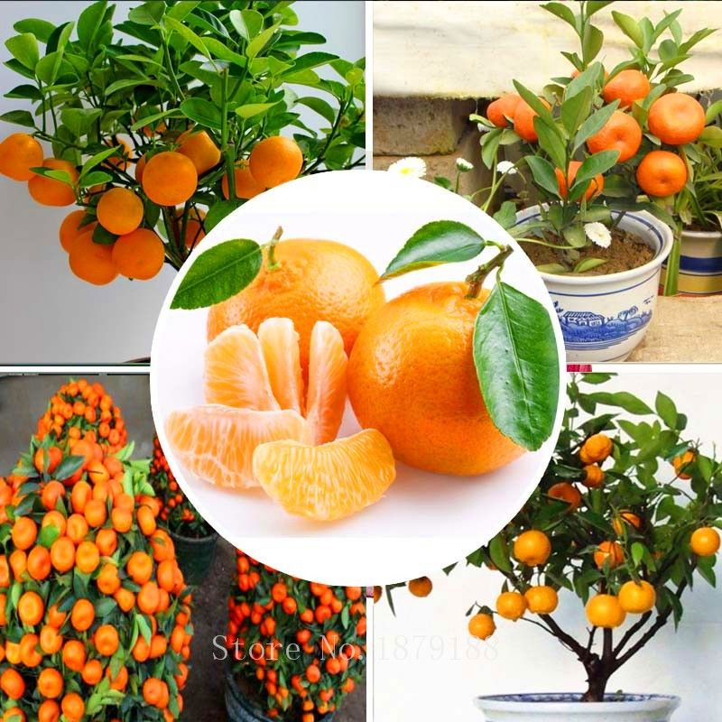 Semillas de la fruta de naranja semillas de rboles enanos washington navel crecer en interiores - Semillas de interior ...