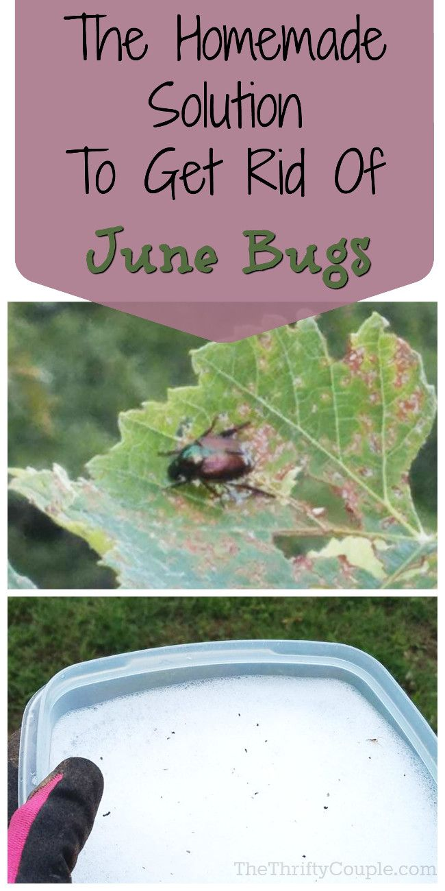 homemade solution to get rid of june bugs and stop them from