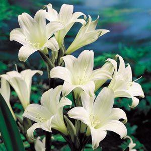 Amaryllis Belladonna White 2 3 Tall Sun Spring Foliage